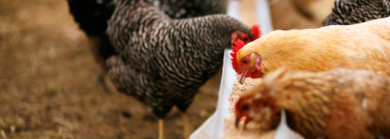 BROILERS-IN-POULTRY